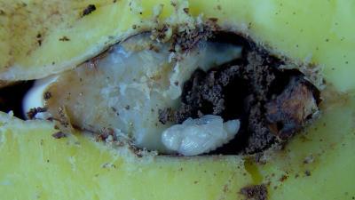 How to Grow a Mango Tree | Step by Step Directions to Grow ...  |Mango Seed Inside