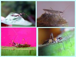 Different types of assasin bugs present on crops. © A. M. Varela, icipe.