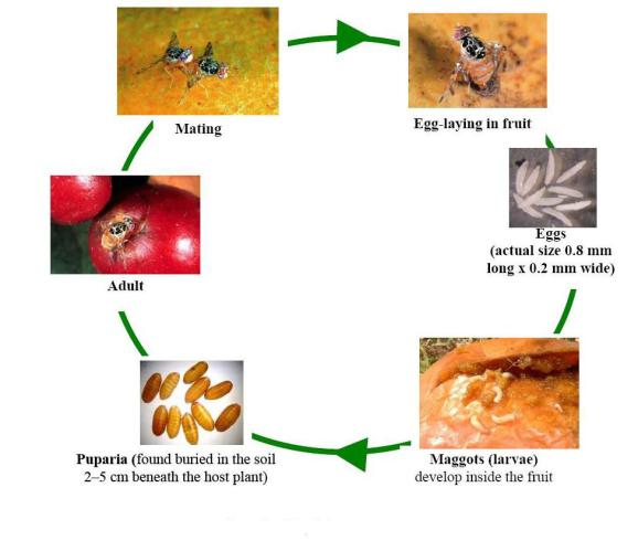 understanding the life cycle of the fruitfly This includes the fly life cycle, which occurs in four stages, and a general attraction to rotting food or manure house flies and fruit flies are particular nuisances because they are common invaders of homes and restaurants.