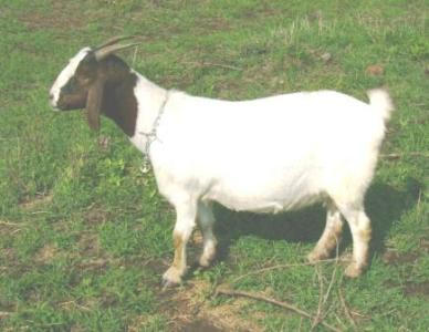 Goats (new with animal welfare information) | Infonet