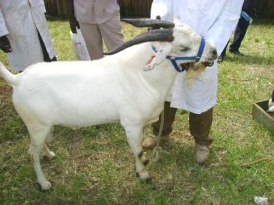 Goats (new with animal welfare information) | Infonet Biovision Home