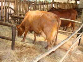 Allowing Ruminants to graze vs providing feeds for them in a confinement, find out which is better