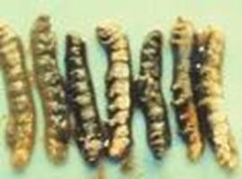 Mulberry Silkworm | Infonet Biovision Home