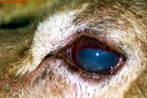 Blue Eye Syndrome Dogs
