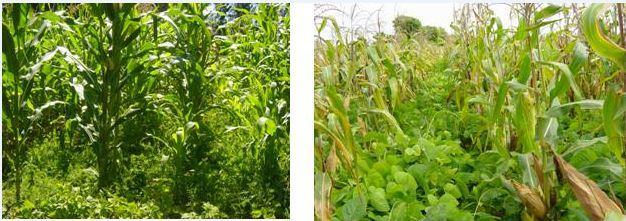 Maturity period of maize