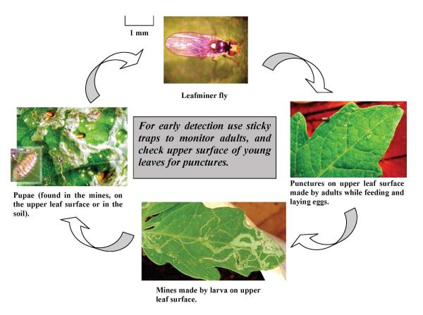 Leafminer Life Cycle