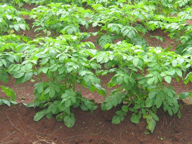 Potato Seed Production   Infonet Biovision Home