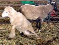 Young animals: Lamb and Kids problems (new) | Infonet