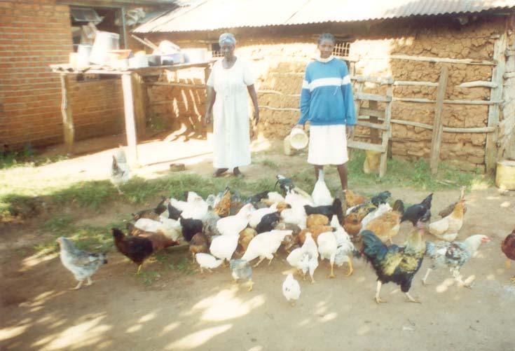Chicken (new, with animal welfare information) | Infonet