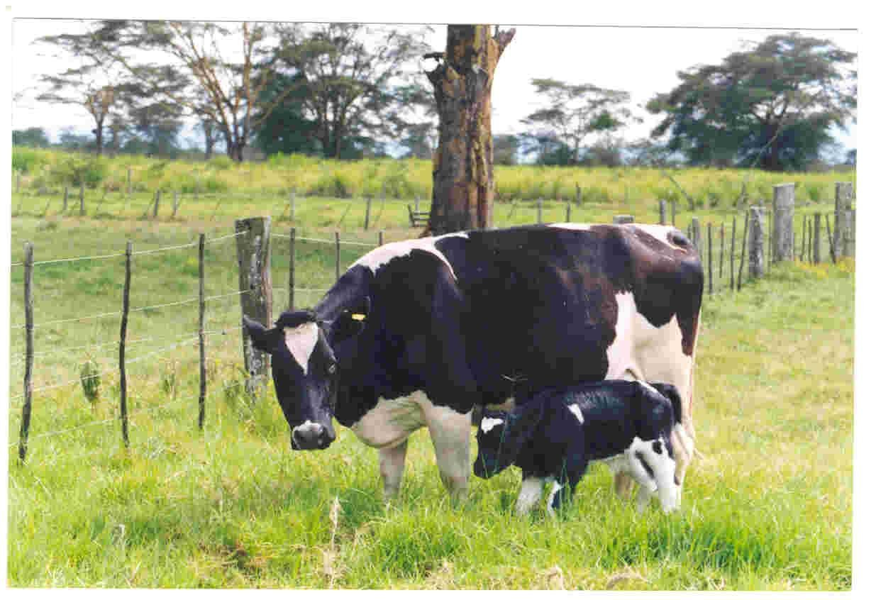 Friesian cow with calf