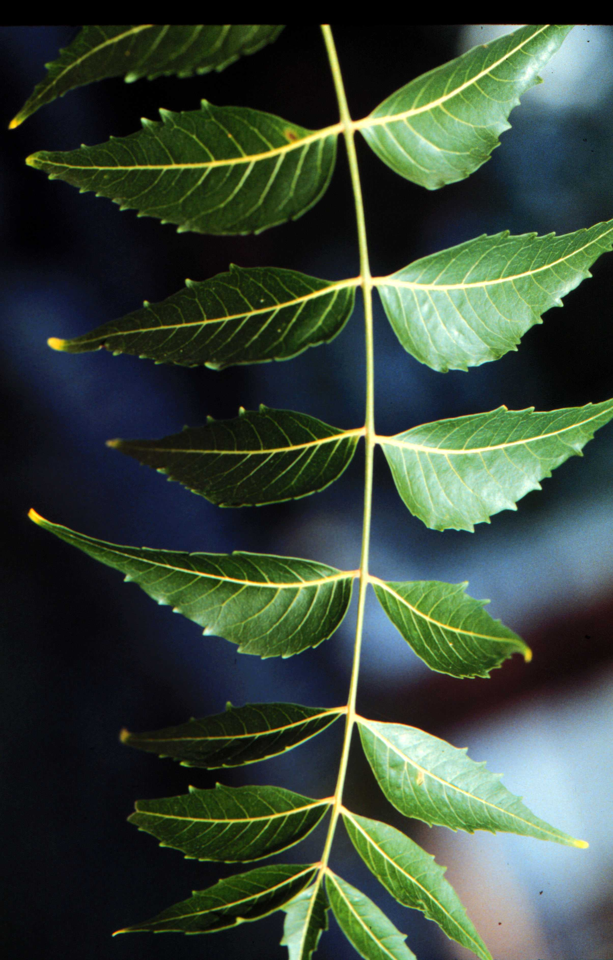 Neem tree   Infonet Biovision Home