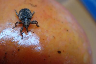 Mango Seed Weevil Infonet Biovision Home
