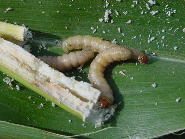 African Maize Stalkborer Infonet Biovision Home