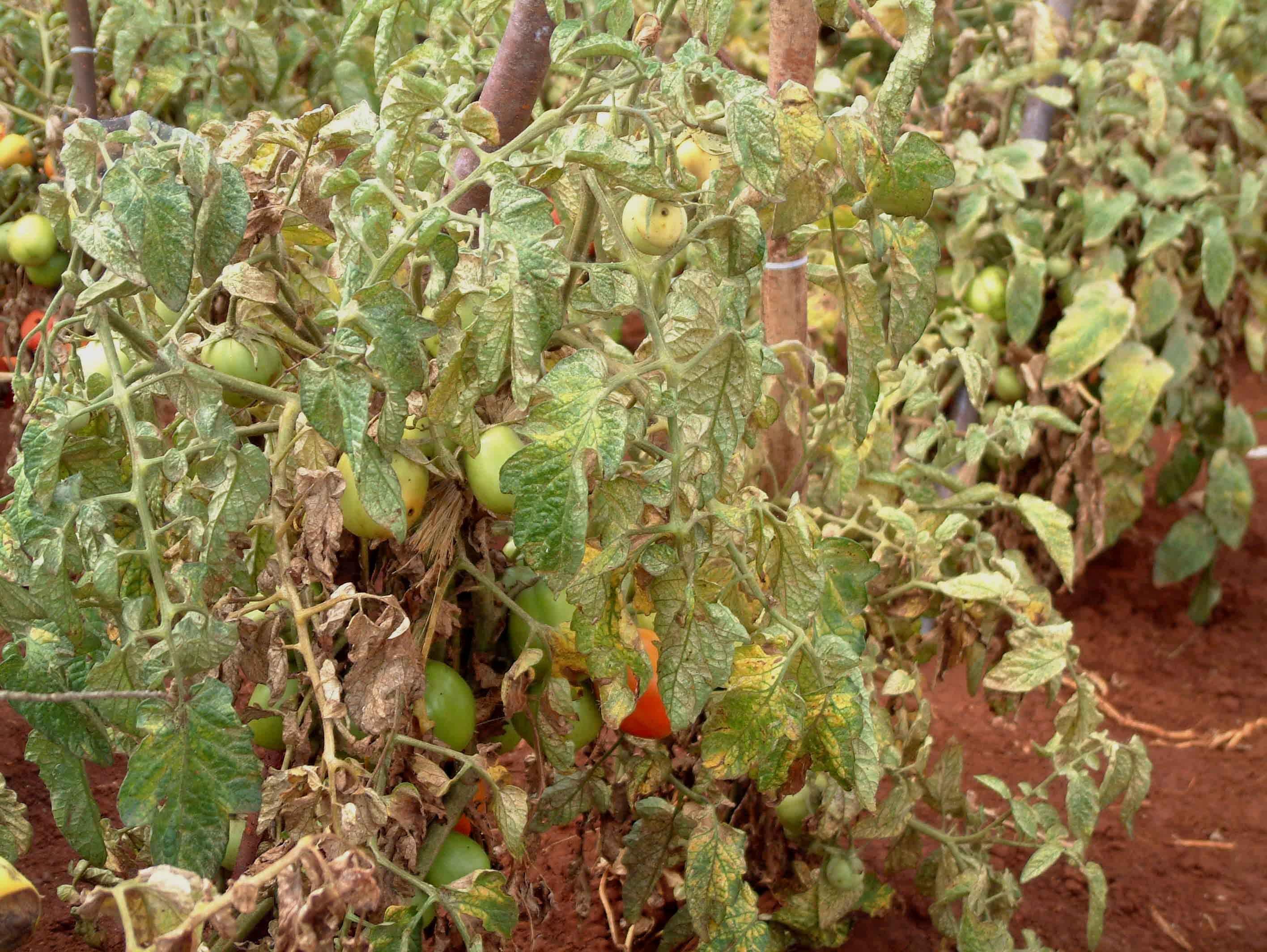 Severe Spider Mite Damage To Tomato Plants