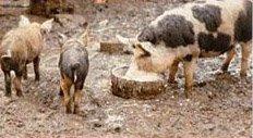 Free-range kept pigs