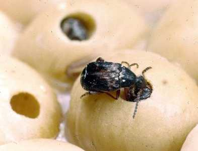 Cowpea Seed Beetle Infonet Biovision Home