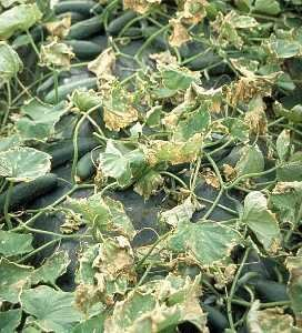stunted roots cucumber seedlings