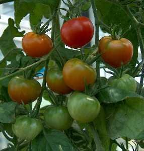 Tomato | Infonet Biovision Home