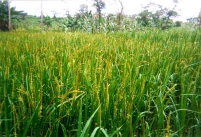 Rice | Infonet Biovision Home