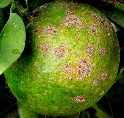 Citrus Plants Infonet Biovision Home