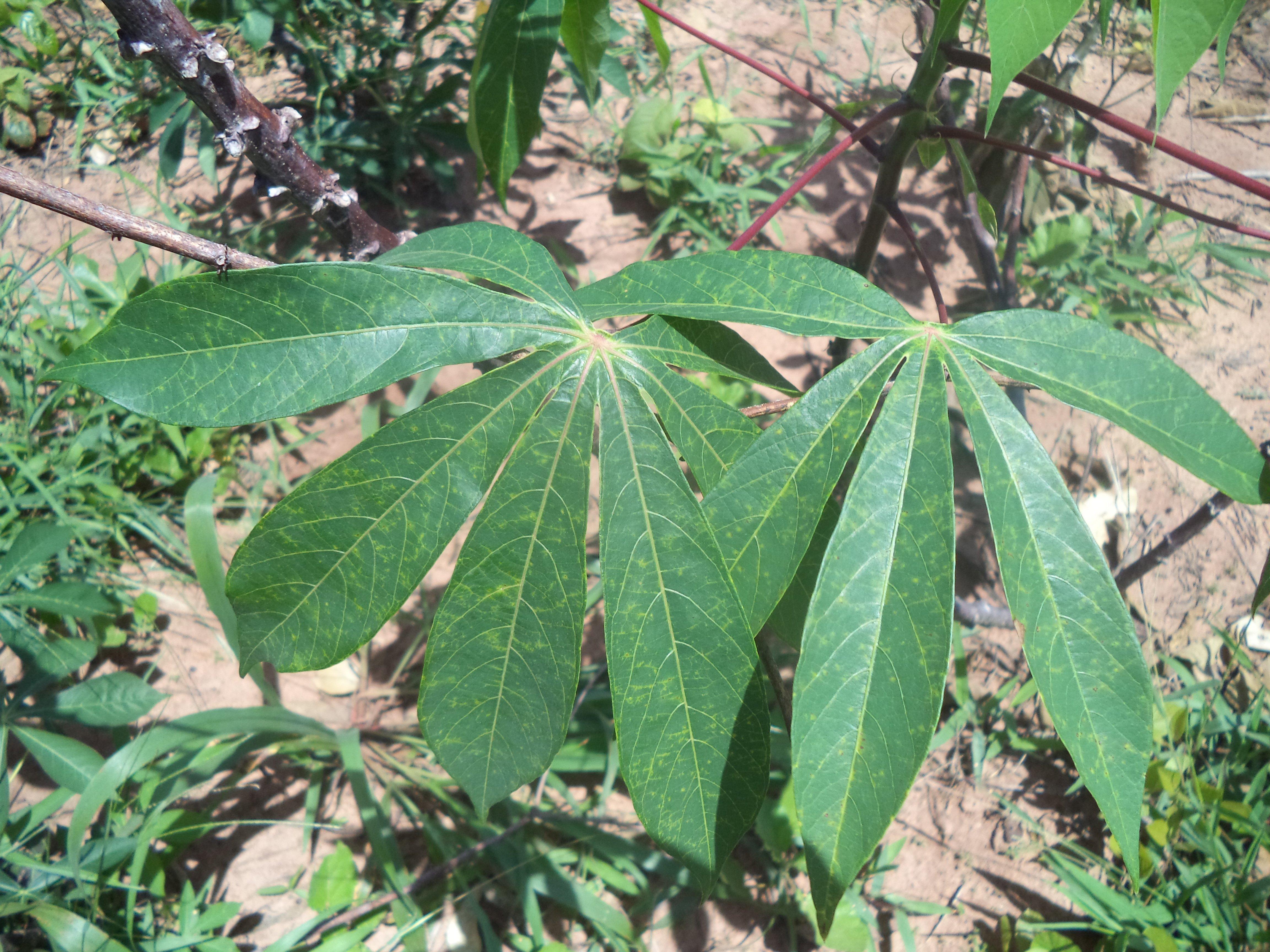 Cassava | Infonet Biovision Home