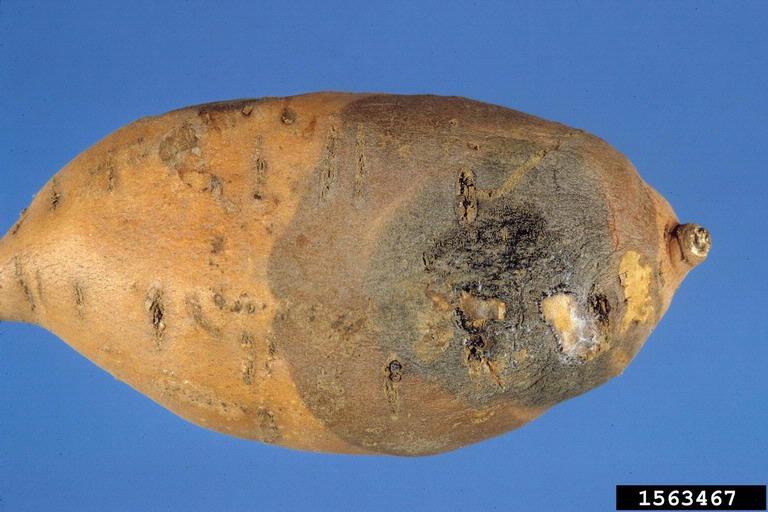 Ass cock like sweet potato porn