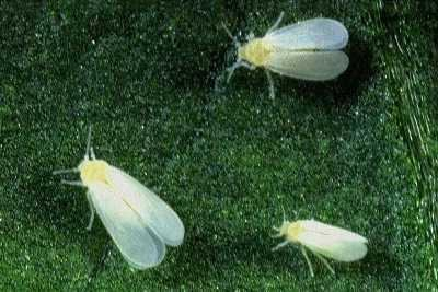 Matchless Adult whitefly control consider