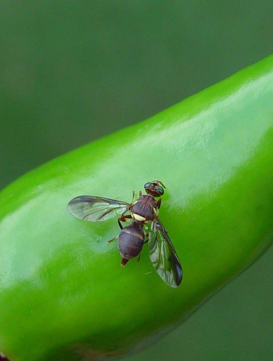 Fruit flies | Infonet Biovision Home