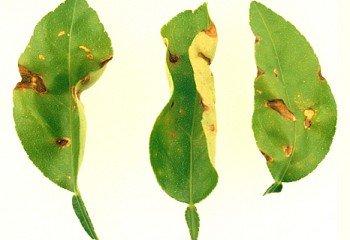 <b>Anthracnose <i>(Colletotrichum spp.)</b></i> on Key lime leaves