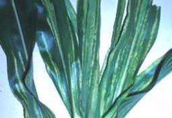 <b>Downy mildew</b><i> (Peronosclerospora sorghi)</i> on maize: Chlorotic leaf streaks