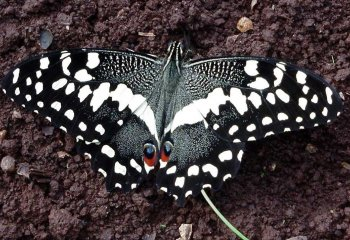 The swallowtail butterfly <i>(Papilio demodocus) </i>also known as <b>orange dog</b>. Adult moth.