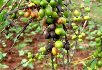 <b>Coffee berry disease </b>(<i>Colletotrichum kahawae</i>)