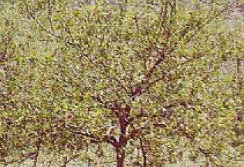 Lemon tree infested with <b>citrus nematodes </b>(<i>Tylenchulus semipenetrans)</i>