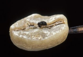 <b>Coffee berry borer </b> <i> (Hypothenemus hampei)</i>. Adult female on a green coffee bean. Females are 1.4 to 1.6 mm long.