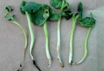 <b>Damping-off disease</b> (here on okra seedlings)