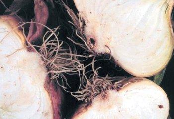 <b>Fusarium basal rot </b><i>(Fusarium oxysporium f.sp. cepae) on onion</i>