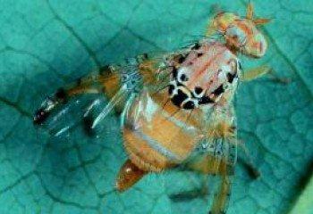 Fruit Fly (Ceratitis fasciventris)