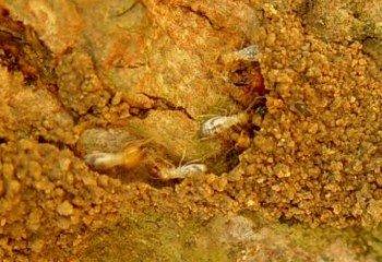 Termites on mango stem (Coptotermes formosanus)