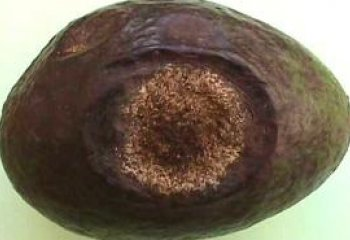 Anthracnose on avocado fruit