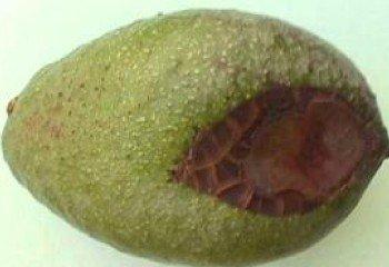 Avocado fruit showing a lesion caused by <b>Cercospora</b> <i>(Pseudocercospora purpurea)</i>.