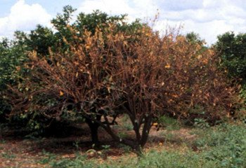 <i>Phytophtora</i><b> on citrus tree</b>