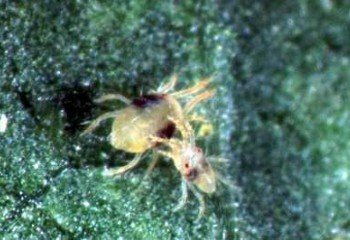 Two-spotted <b> spider mite </b> <i> (Tetranychus urticae<)/i> . The adult female is 0.6 mm long. The male is smaller.