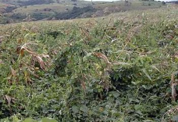Cowpea being grown as a cover crop in a conservation agricultural project