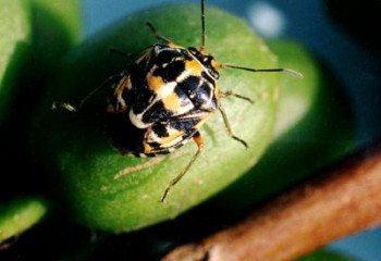 <b>Antestia bugs</b> <i>  (Antestiopsis spp) </i> on Coffee. The adult bug is shield-shaped, about 6 to 8 mm long and strikingly coloured dark brown with orange and white markings.