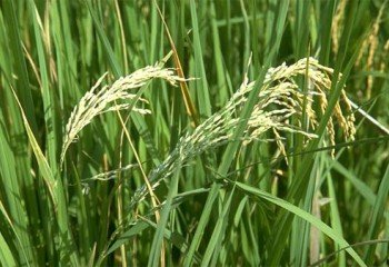 Dried rice tassels caused by <b>rice blast disease</b><i> (Magnaporthe grisea)</i>