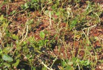Cowpea plant
