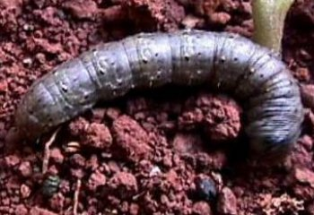 Cutworm (Agrotis sp.) Early instars are about 7-12 mm long. Fully grown caterpillars are 35-50 mm long.