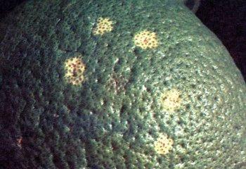 Egg laying marks by <b>fruit flies</b> on an orange fruit