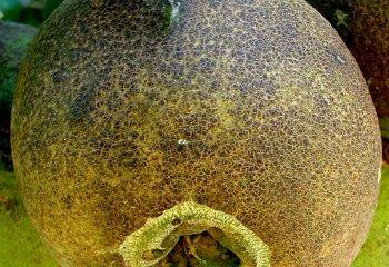 """Damage by  <b>citrus rust mite</b><i>(Phyllocoptruta oleivora)</i> on a """"Washington Navel"""" orange fruit"""