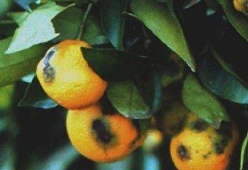 Orange fruits infected by <b>Phaeoramularia fruit spot</b> <i>Phaeoramularia angolensis)<i/>